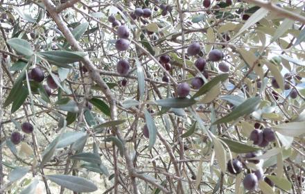 Hier erkannte ich auch heuer wieder, was es heißt, ein qualitativ hochwertiges und geschmacklich einzigartiges Olivenöl herzustellen.